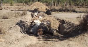 cattle deaths